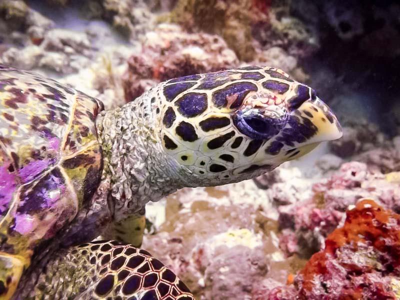 Turtle ID project - Hawksbill EI0953 'Bill', Lhaviyani Atoll Maldives