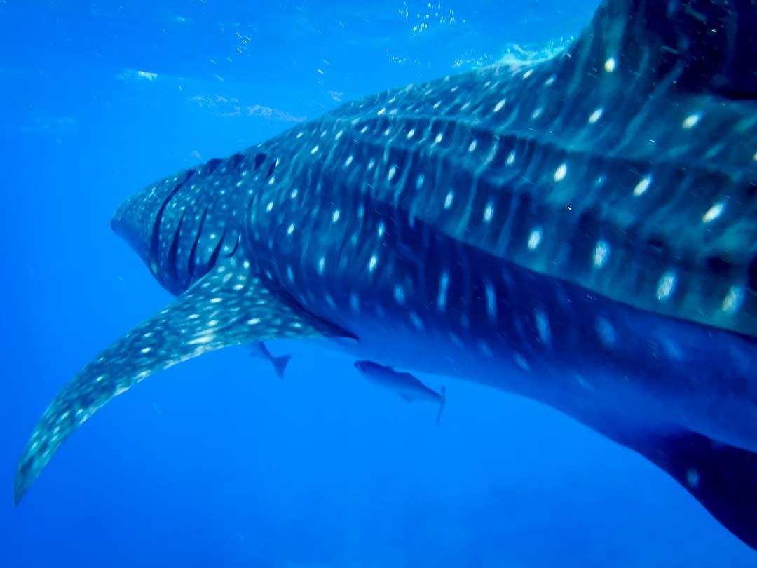 Whale shark Maamigili Marine Savers