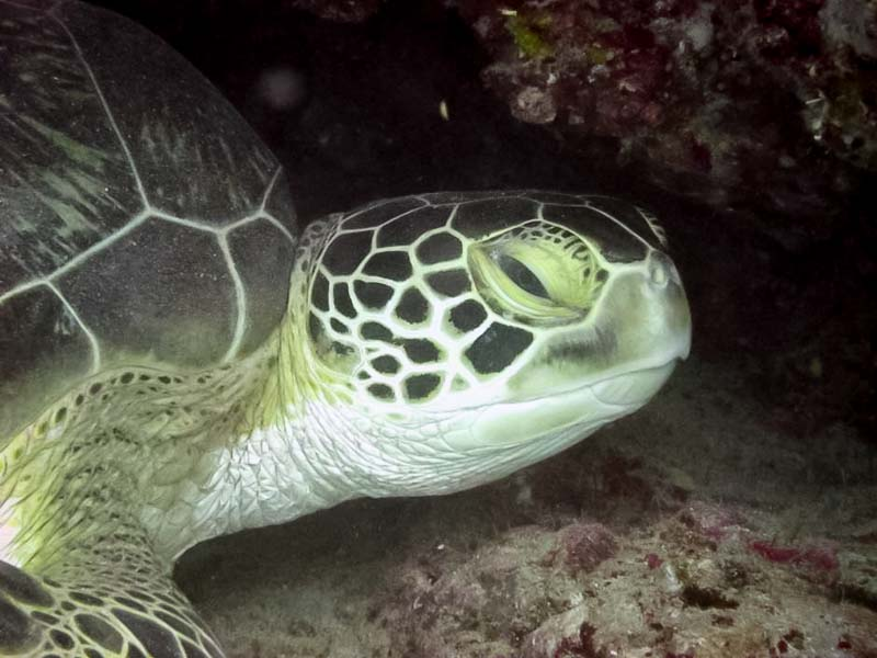 Turtle ID - Green Turtle CM186 at Medhufaru, South Male Maldives