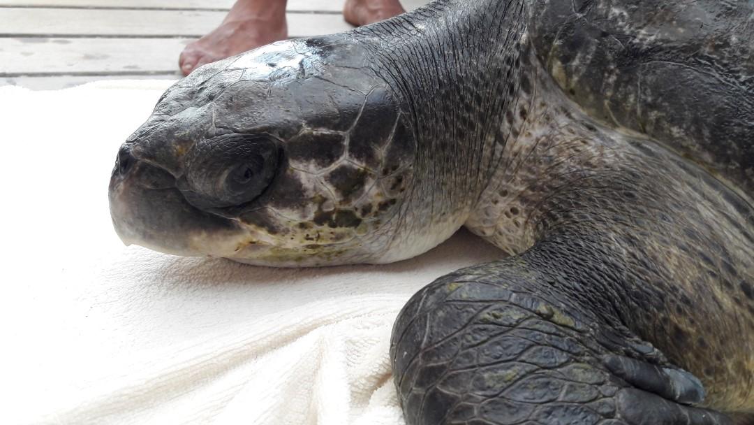 Eevee – rescue Olive Ridley turtle – Marine Savers Maldives (2) (1080)