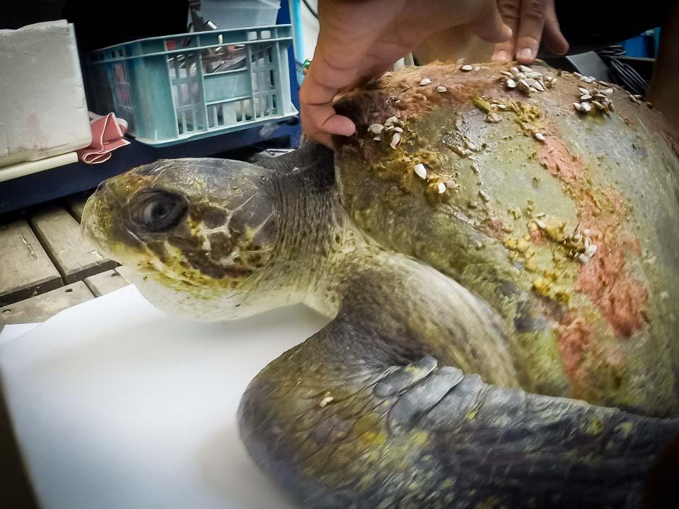 Eevee - rescue turtle - Marine Savers Maldives