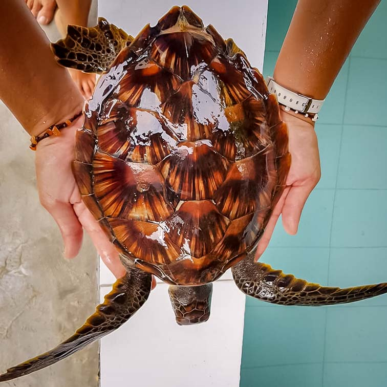 Indra - possible Green/Hawksbill turtle hybrid