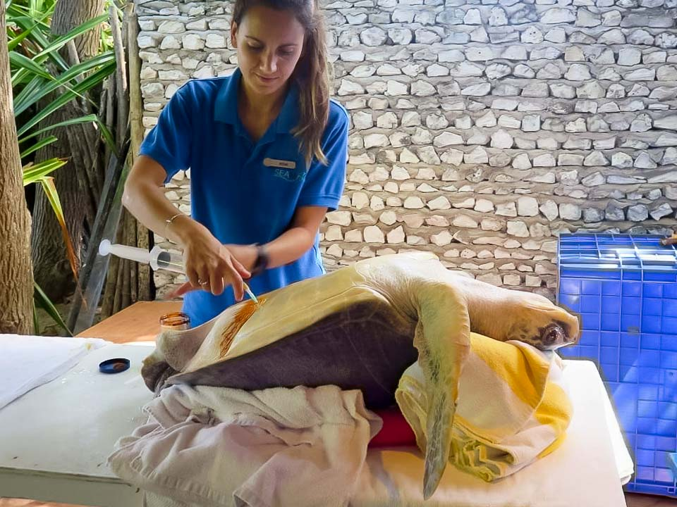 Irene's Internship – Marine Savers Maldives – turtle air extraction