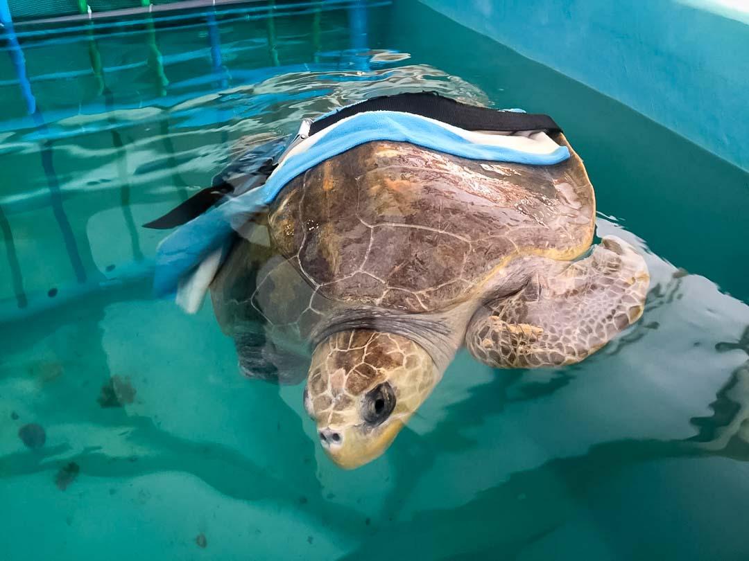 Irene's Internship – Marine Savers Maldives – turtle dive belt