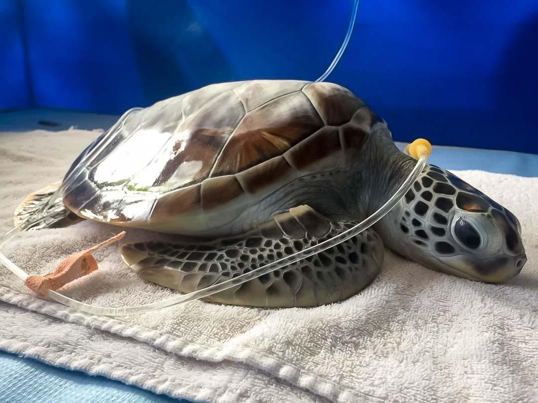 Irene's Internship – Marine Savers Maldives – turtle treatment