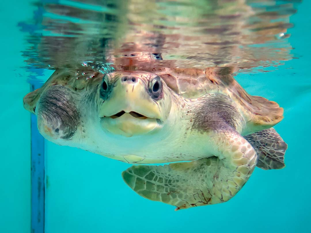 Juanita Olive Ridley rescue turtle Marine Savers Maldives (0101)