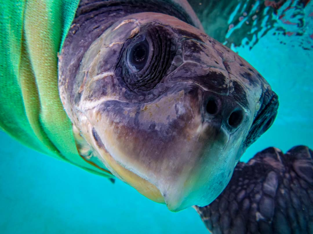 Rescued olive ridley turtle 'Marion' Marine Savers Maldives