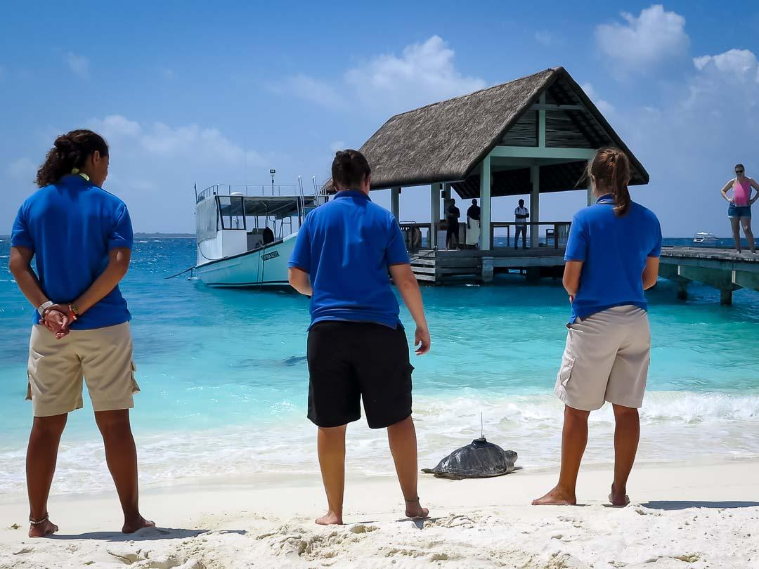 Satellite tagged turtle Eevee Marine Savers Maldives (07) []
