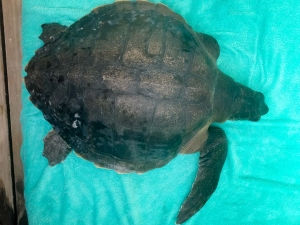 Xena rescue Olive Ridley turtle (RB.LO.119) [170808] Marine Savers Maldives (3) (Xena)