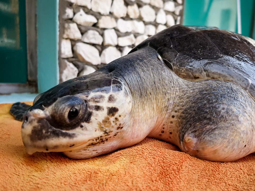 Xena - rescue turtle Marine Savers Maldives (1)