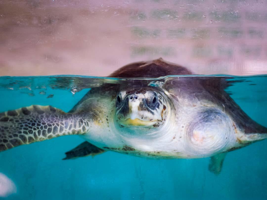 Xena - rescue turtle Marine Savers Maldives (2)