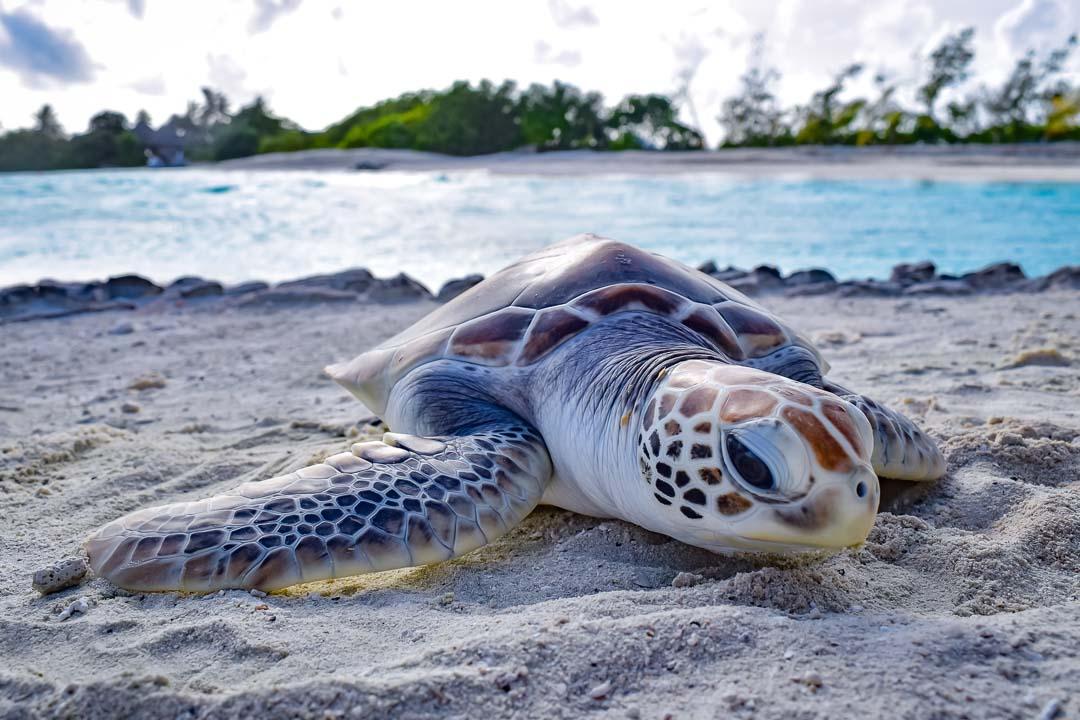 Caroline (3) sea turtle centre Marine Savers Maldives