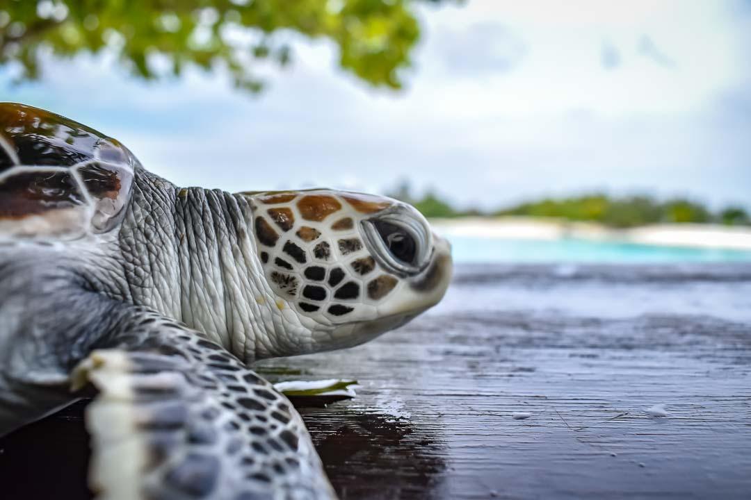 Caroline sea turtle centre Marine Savers Maldives