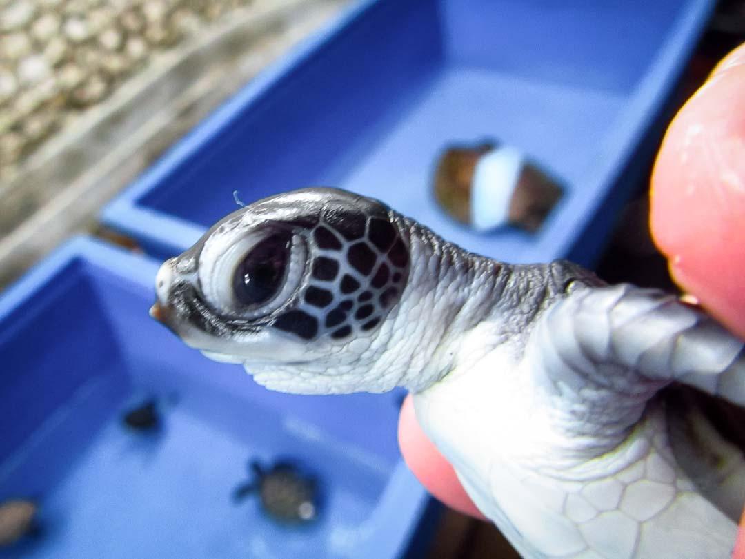 Caroline - Head Start Green turtle hatchling
