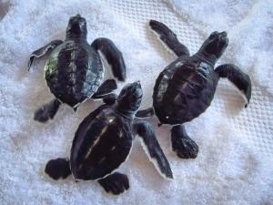 Head Start Green turtle hatchlings – CM nest (6137) (N032 CM)