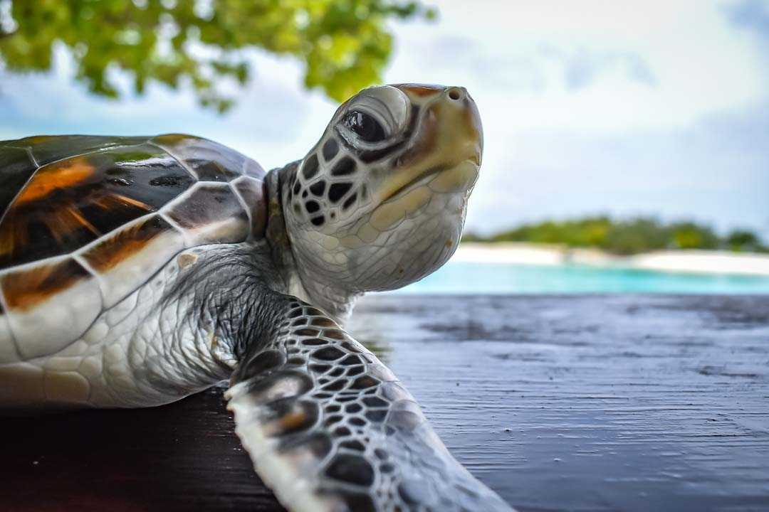 Leo sea turtle centre Marine Savers Maldives