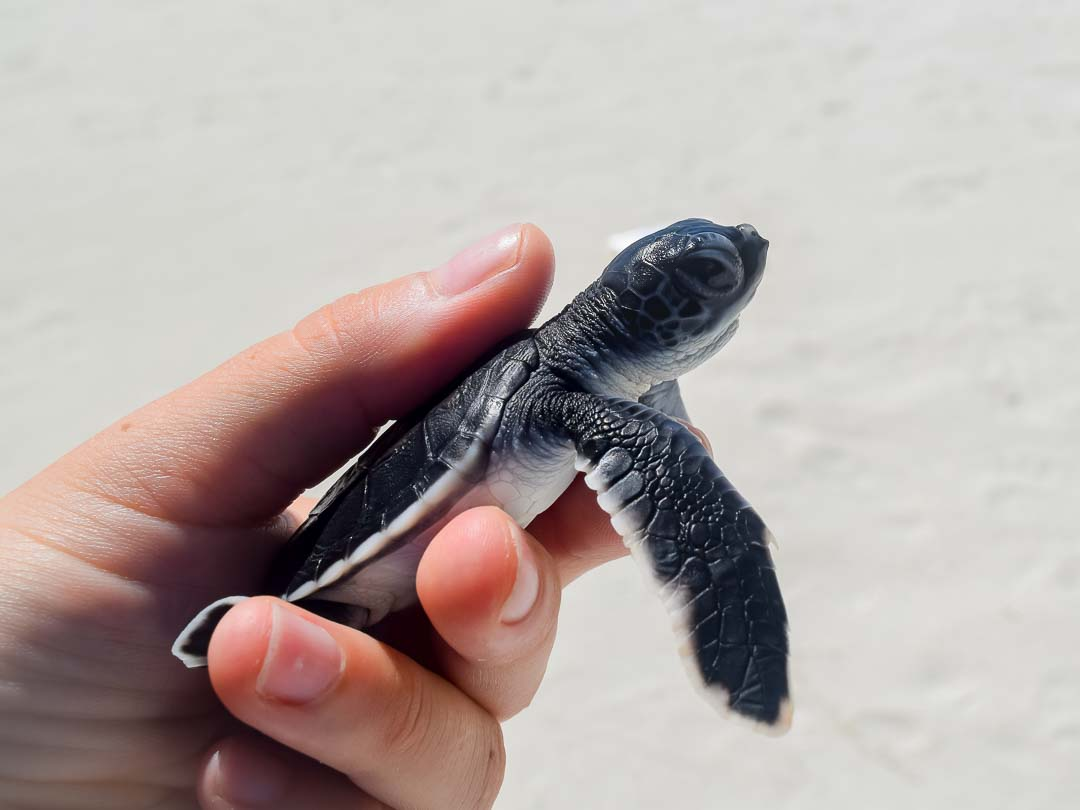 Leo - Head Start Green turtle hatchling