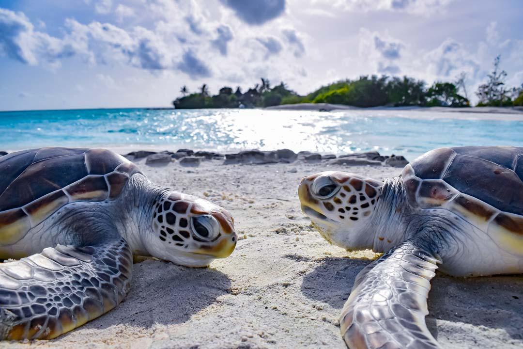 Leo and Olaf 2 (10) sea turtle centre Marine Savers Maldives