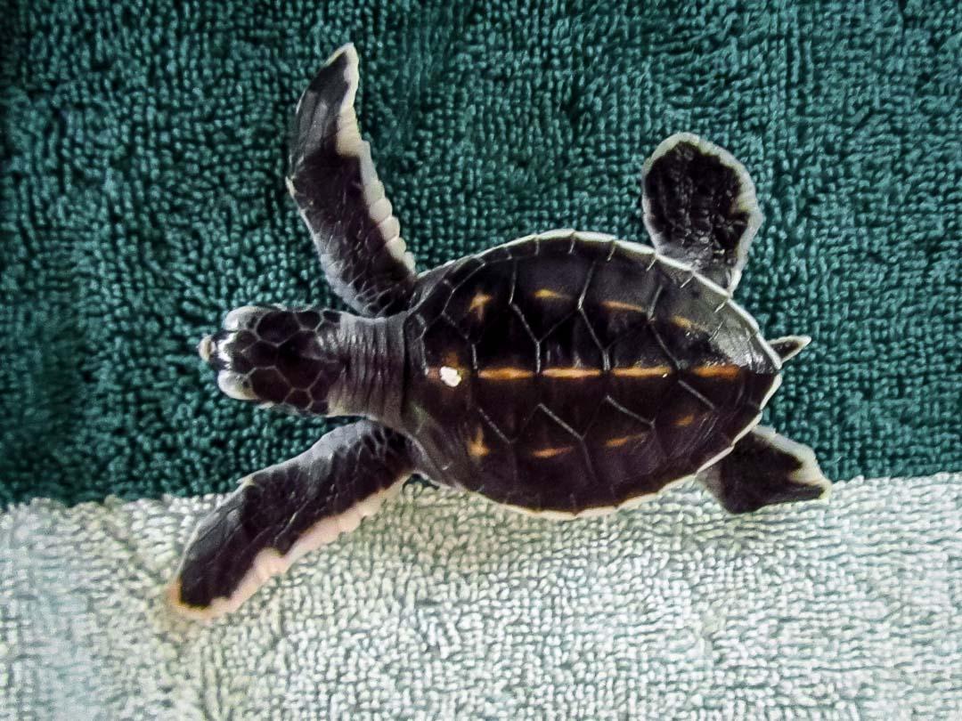 Mushu - Head Start Green turtle hatchling