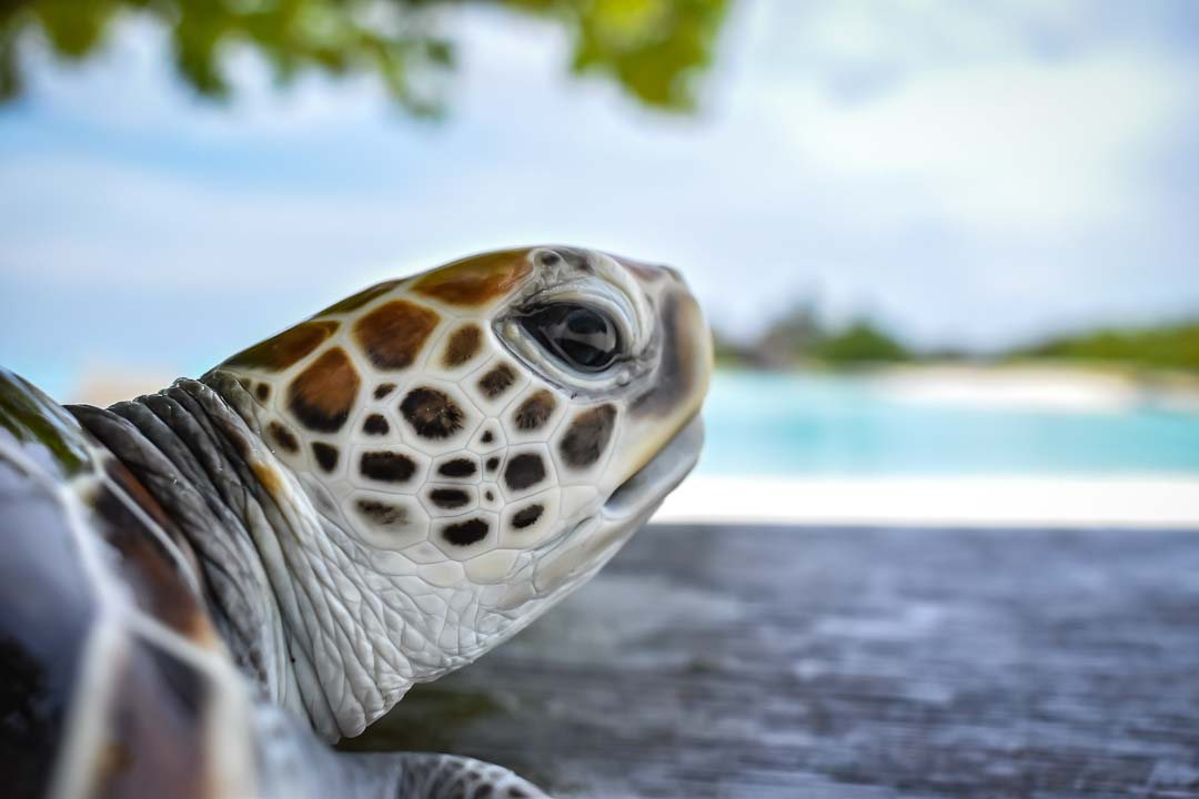Olaf sea turtle centre Marine Savers Maldives