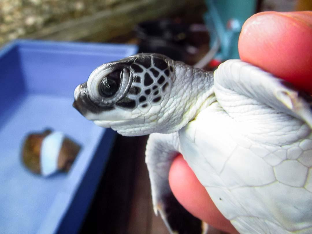 Olaf - Head Start Green turtle hatchling
