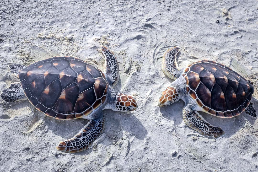 Olaf and Caroline 5 (2) sea turtle centre Marine Savers Maldives