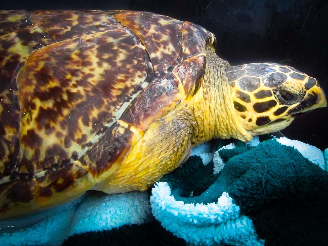 Rescue Hawksbill turtle – Marine Savers Maldives (1)