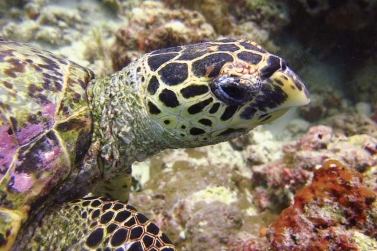 Turtle ID - Hawksbill [EI0953] 'Bill' Komandoo Lhaviyani Atoll Maldives