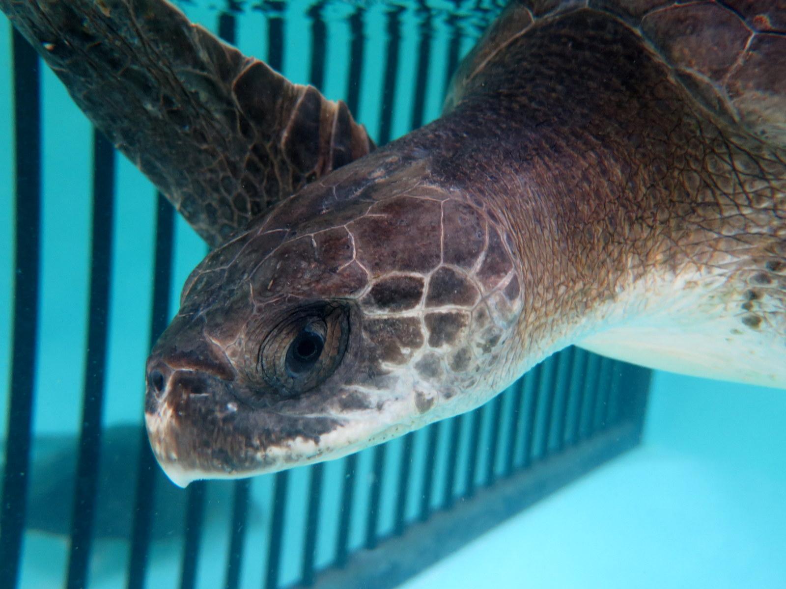 Xena rescue Olive Ridley turtle Marine Savers Maldives (1263)