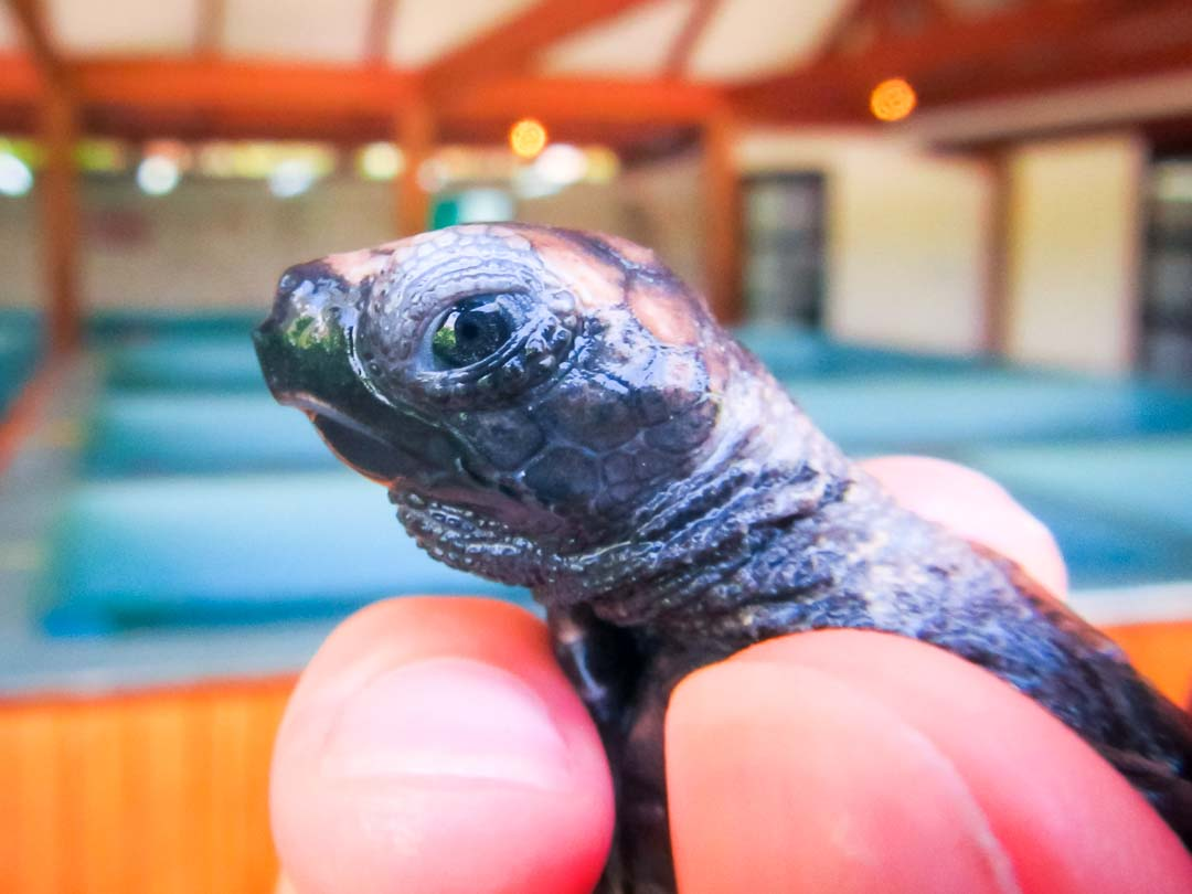 Head start turtle hatchling Tina [EI.043] Marine Savers Maldives
