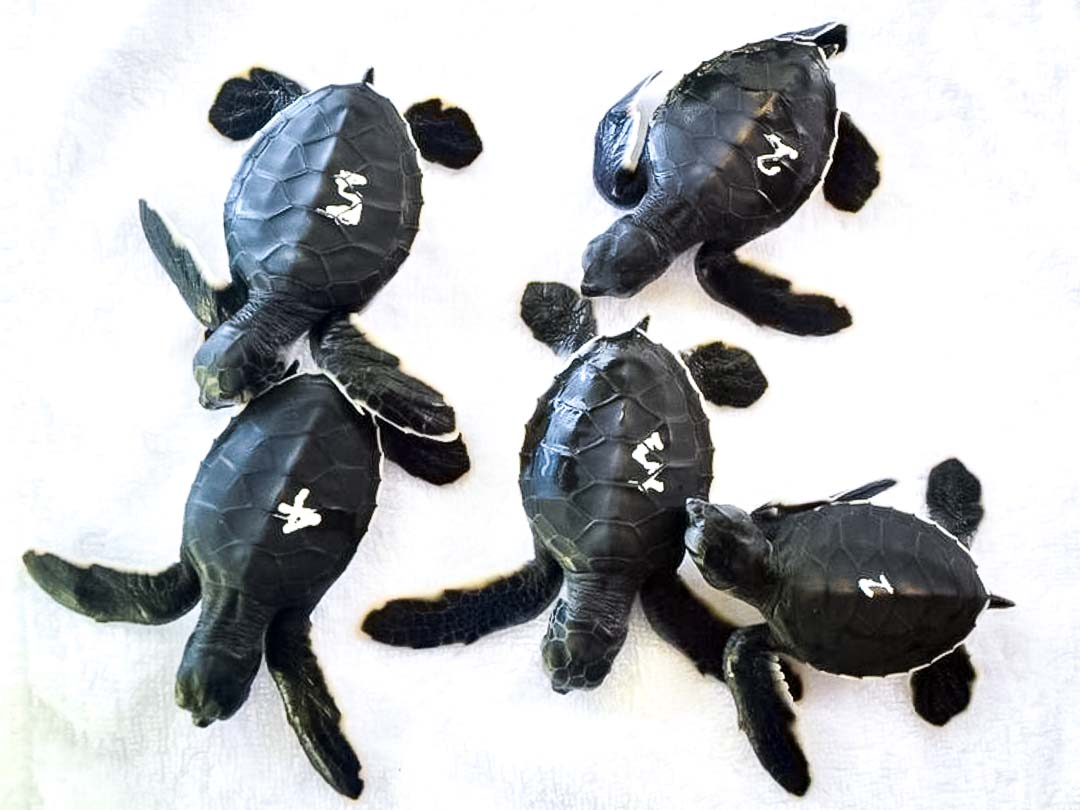 Green Turtle hatchlings LG nest Marine Savers Maldives (1)