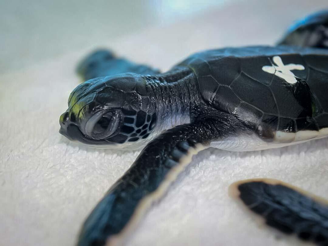 Green Turtle hatchlings LG nest Marine Savers Maldives (5)