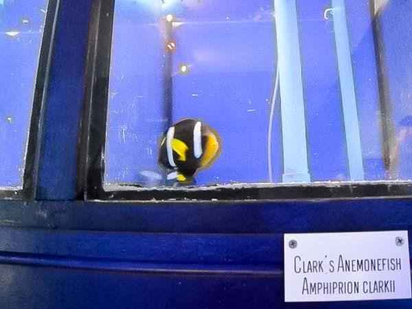 Jean-Gabriel Internship – Marine Savers Maldives – Amphiprion clarkii