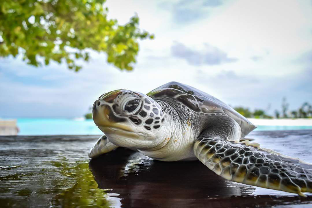 Naiko sea turtle centre Marine Savers Maldives