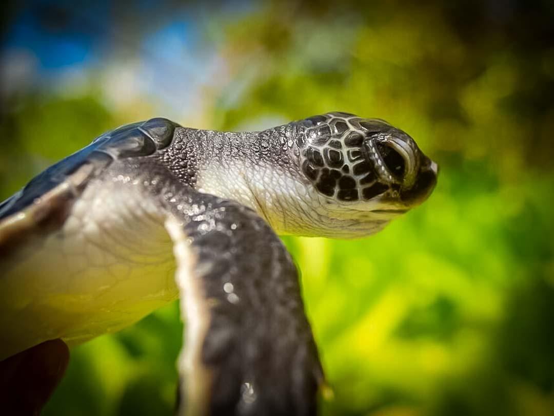 Naiko Green Turtle hatchling Marine Savers Maldives