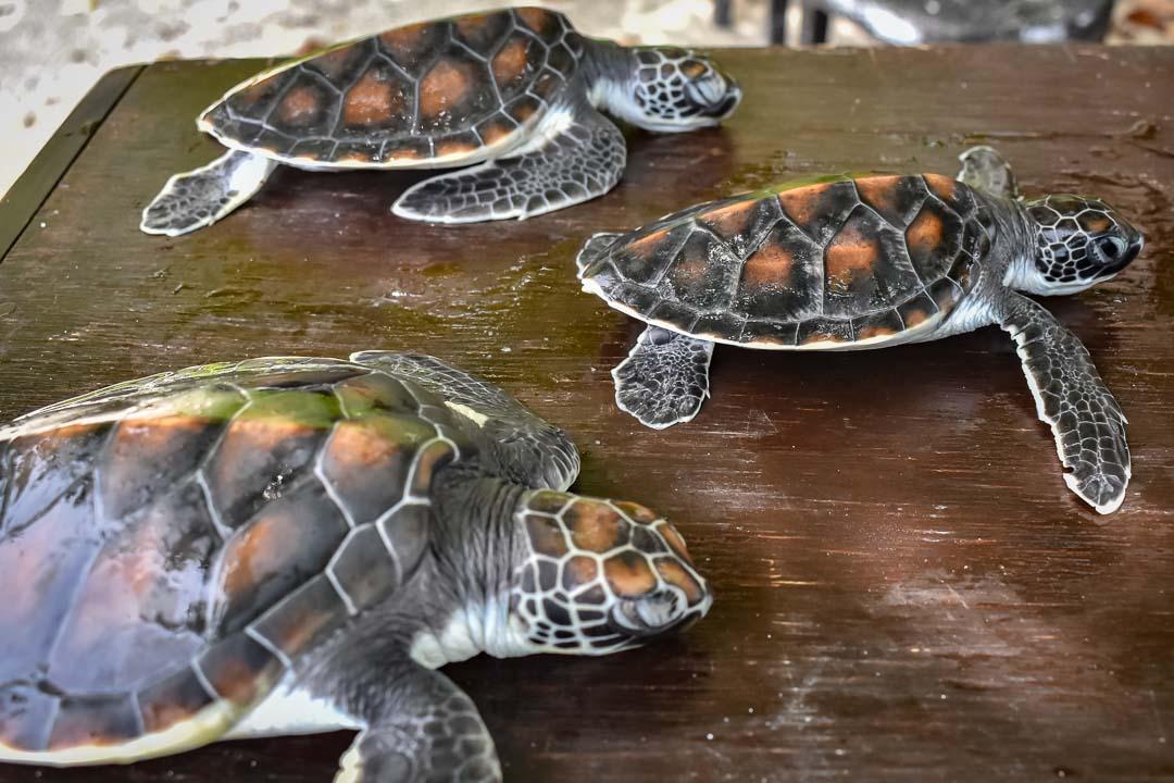 Smash, Chilli, Pepper sea turtle centre Marine Savers Maldives