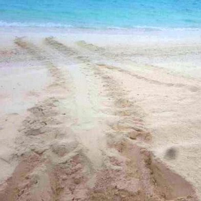 Turtle nest tracks beach Marine Savers Maldives [LG 2017.08]