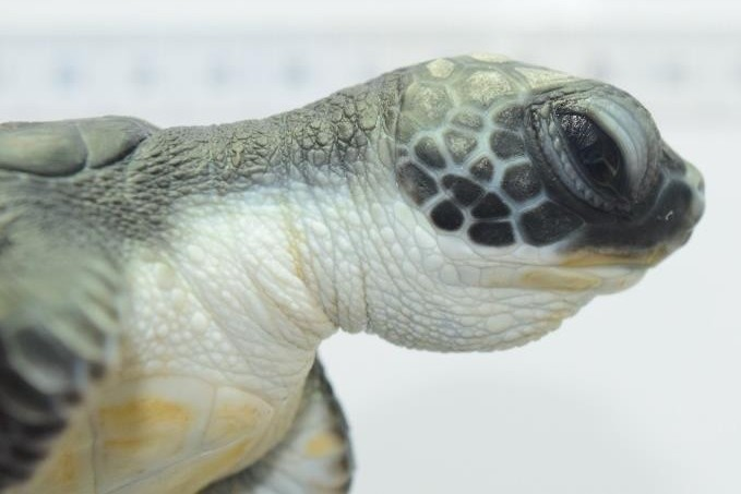 Sea Turtle Morpho-Evolution facial scales [KH 2017.10]