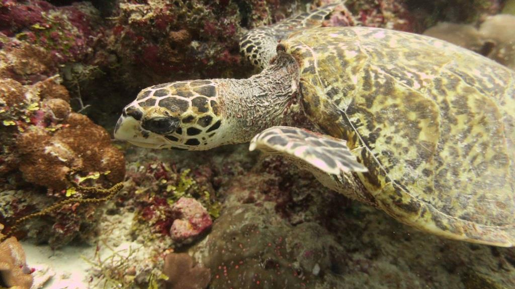 Newly identified Hawksbill turtle [#EI1000] sighted and photographed in North Malé Atoll, Maldives