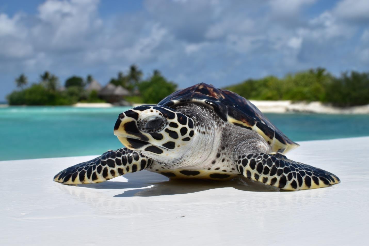 Turtle hatchling head start Marine Savers Maldives