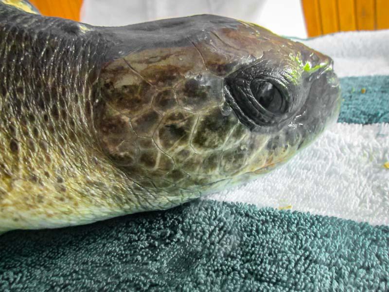 Rescued olive ridley turtle 'TROOPER' Marine Savers Maldives