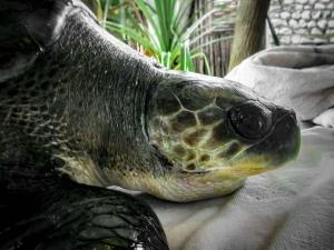 Rescued olive ridley turtle 'Velasaaru' Marine Savers Maldives (Velassaru)
