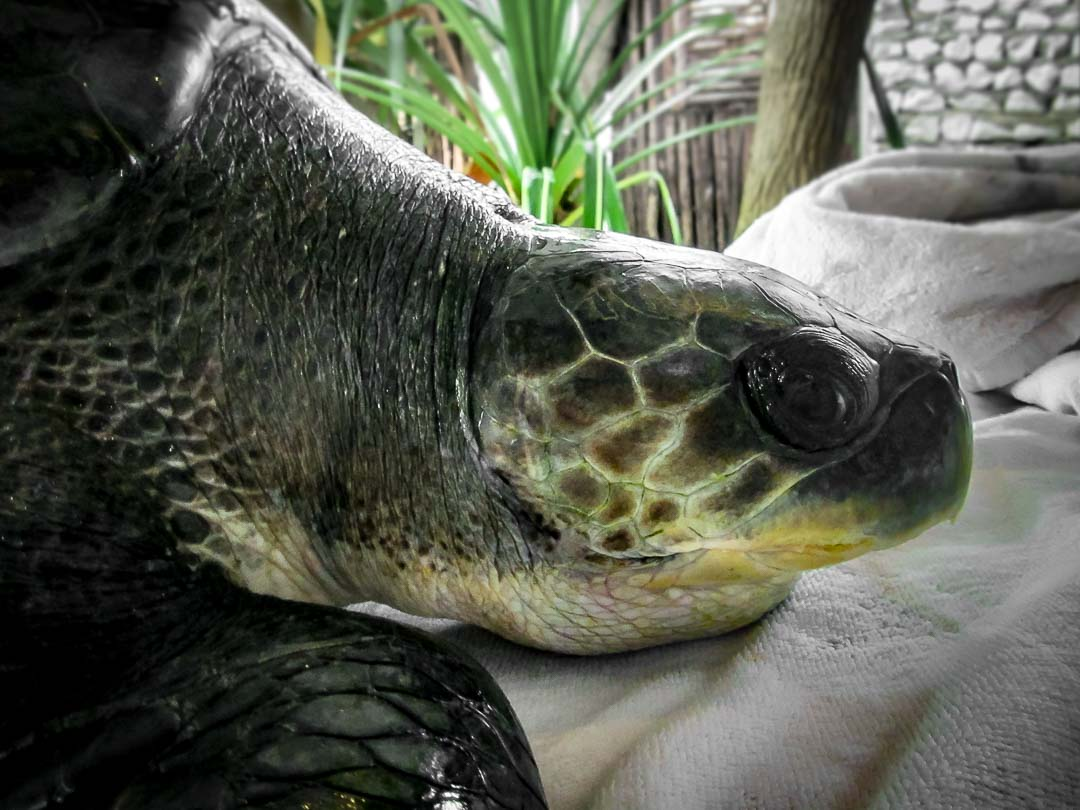 Rescued olive ridley turtle 'Velasaaru' Marine Savers Maldives