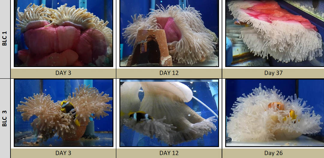 Fish Lab - in-vitro anemone bleaching experiments Marine Savers Maldives