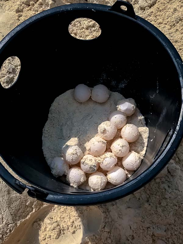 Green turtle eggs, nest relocation, Maldives Marine Savers
