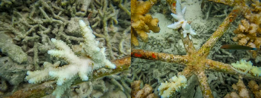 Reefscapers – Bleached coral Acropora puchra & Acropora digitifera Maldives [KH 2018.05]