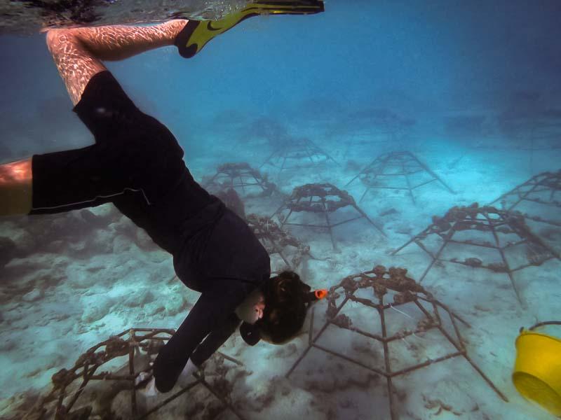 Reefscapers coral frames retransplanting Kuda Huraa Maldives