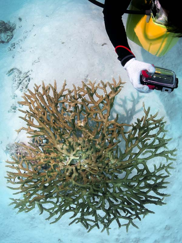 Reefscapers - healthy wild Valenciennesi coral Marine Savers Maldives
