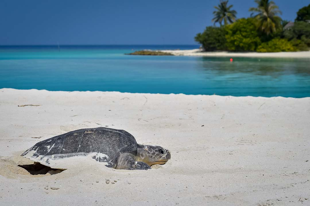Rescued Olive Ridley turtle 'Eddie', rehabilitation and care, release day Marine Savers Maldives (2)