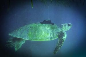 Stevie rescue Olive Ridley turtle Marine Savers Maldives (Stevie)